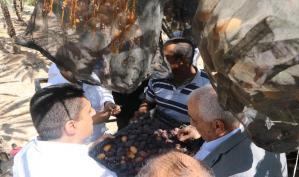 بالصور: افتتاح موسم التمور الفلسطينية في قرية الجفتلك بالأغوار الوسطى