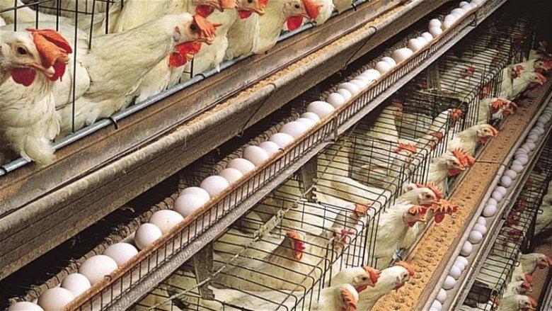 """رئيس """"النقابة اللبنانية للدواجن"""": إرتفاع سعر البيض سببه جشع التجار وسعر الدجاج لا يزال مقبولاً"""
