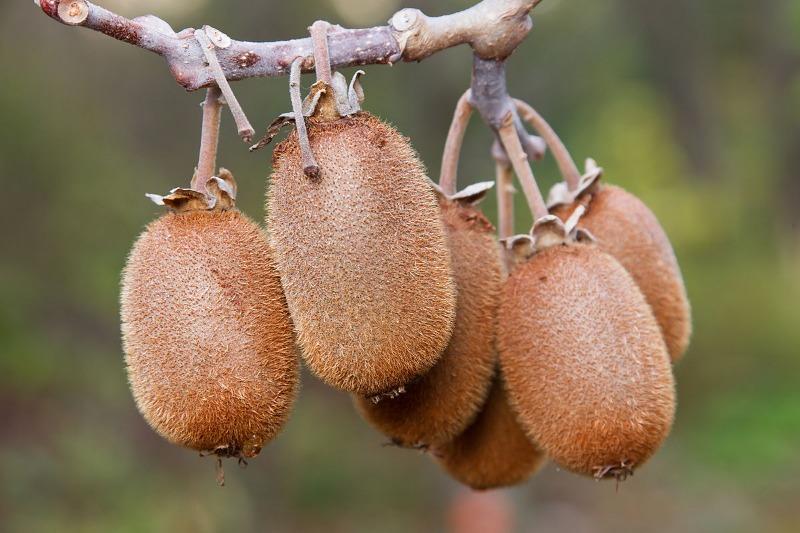 «حرب الكيوي».. الفاكهة الذهبية تشعل نزاعًا دوليًا