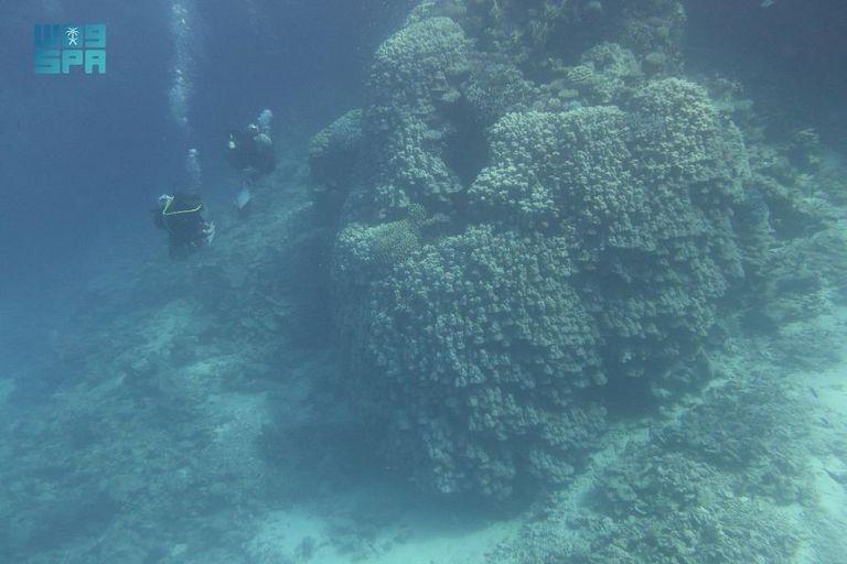 بالصور: اكتشاف مستعمرة مرجانية عمرها 600 عام في السعودية