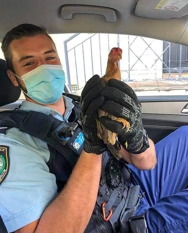استدعاء الشرطة من أجل دجاجة!
